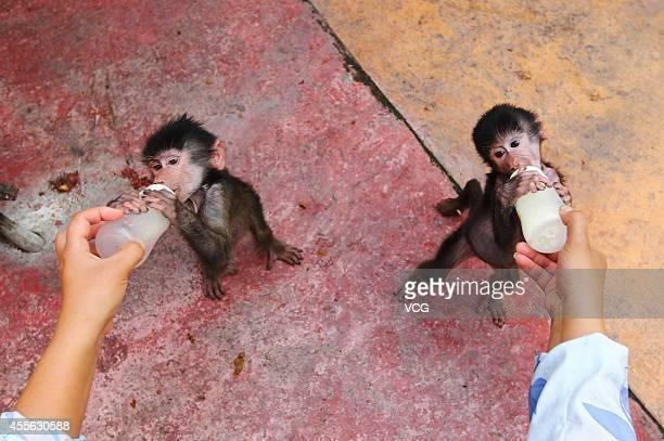 Baby sisters of hamadryas baboon play together at Hangzhou Safari Park on September 17 2014 in Hangzhou Zhejiang province of China Two hamadryas...