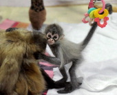 A baby Spider Monkey named Estela C plays with her grandmother Sonya at Melbourne Zoo on May 6 2011 Estela was abandoned at birth by her mother...