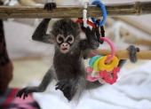 A baby Spider Monkey named Estela plays with her grandmother Sonya at Melbourne Zoo on May 6 2011 Estela was abandoned at birth by her mother...