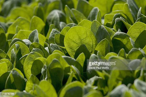Baby spinach grows in a field September 23 2006 in Watsonville California With the recent outbreak of E Coli being traced to spinach farms in...