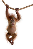 Baby Sumatran Orangutan hanging on rope against white background