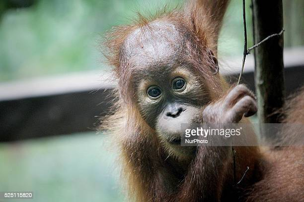 A baby Sumatran Orangutan located in forest areas Gunung Leuser National Park Langkat Sumatra Indonesia on Tuesday November 18 2014 Experts predict...