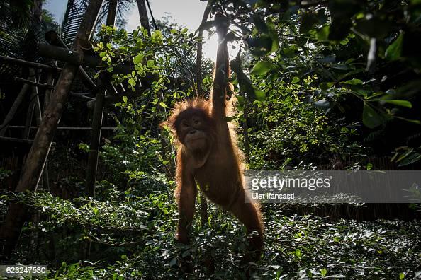 Baby sumatran orangutan plays around in a tree as they train at Sumatran Orangutan Conservation Programme's rehabilitation center on November 12 2016...