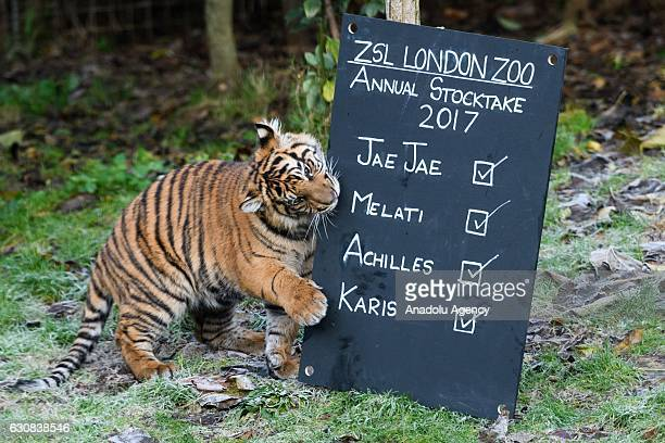 A baby Sumatran tiger bites a sign during the zoo's annual stocktake in London United Kingdom on January 3 2017 A requirement of ZSL London Zoos...