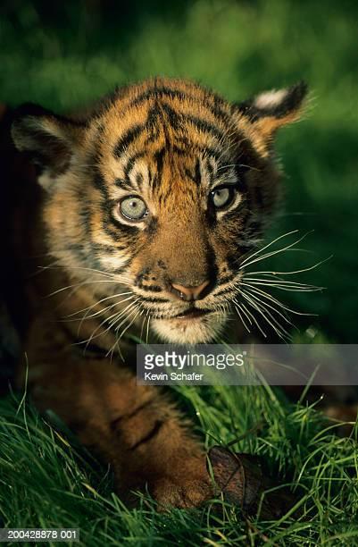 Baby Sumatran Tiger, captive