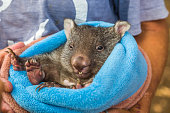 Closeup of a park attendant in her arms and a baby wombat  in marsupial position, few weeks old, Vombatus ursinus. Trowunna Wildlife Park, Mole Creek, Tasmania, Australia.