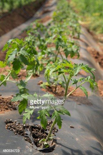 Bambino di pomodoro : Foto stock