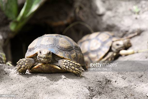 A baby tortoise rests in its enclosure at the Village des Tortues de Noflaye a turtle conservation center some 35 kilometers east of Dakar on October...