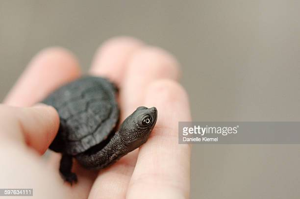 Baby turtle in girl's hand, grey background