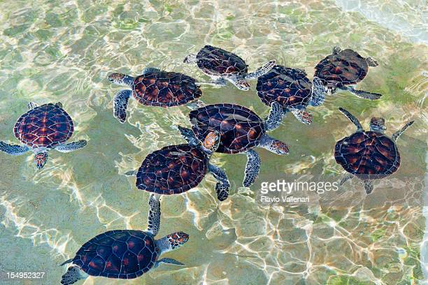 Baby Turtles at Cayman Turtle Farm