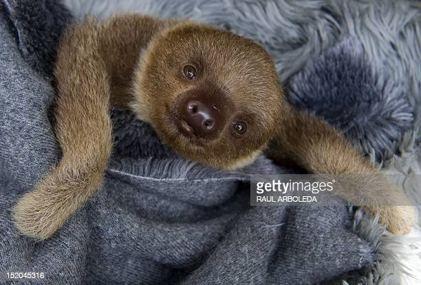 A baby twotoed sloth at the Aiunau Foundation in Caldas some 25 km south of Medellin Antioquia department Colombia on September 15 2012 Croatian...