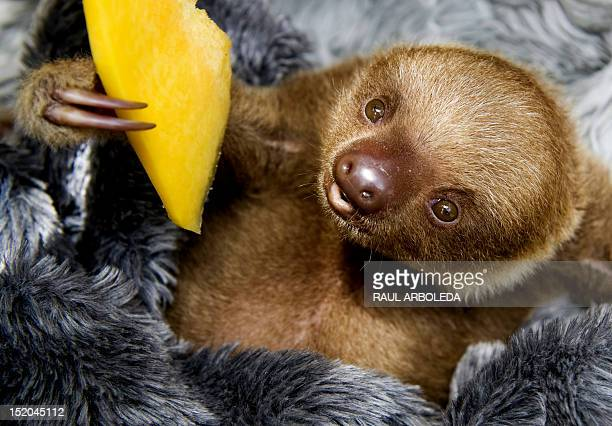 A baby twotoed sloth eats fruit at the Aiunau Foundation in Caldas some 25 km south of Medellin Antioquia department Colombia on September 15 2012...