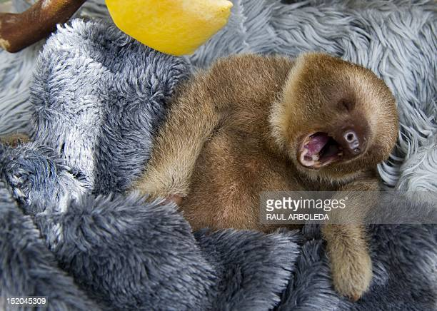 A baby twotoed sloth yawns at the Aiunau Foundation in Caldas some 25 km south of Medellin Antioquia department Colombia on September 15 2012...