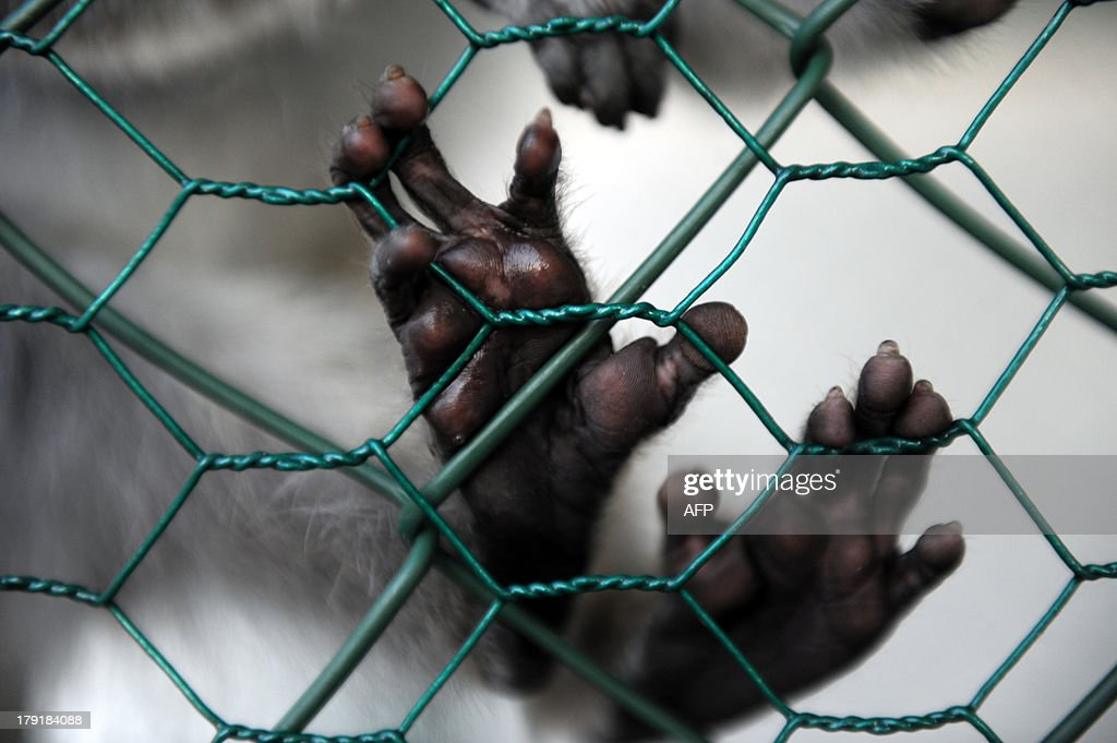 A baby Vervet monkey (African Green monkey) hangs from a cage fence at lounge bar in Pristina, on August 31, 2013. AFP PHOTO / ARMEND NIMANI