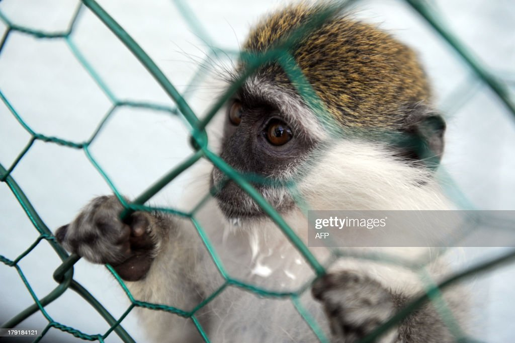 A baby Vervet monkey (African Green monkey) looks out from a cage fence at a lounge bar in Pristina, on August 31, 2013.