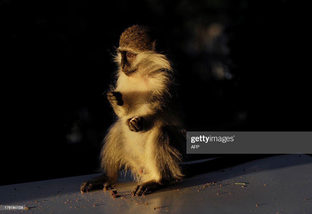 A baby Vervet monkey (African Green monkey) sits on a table at a lounge bar in Pristina, on August 31, 2013.