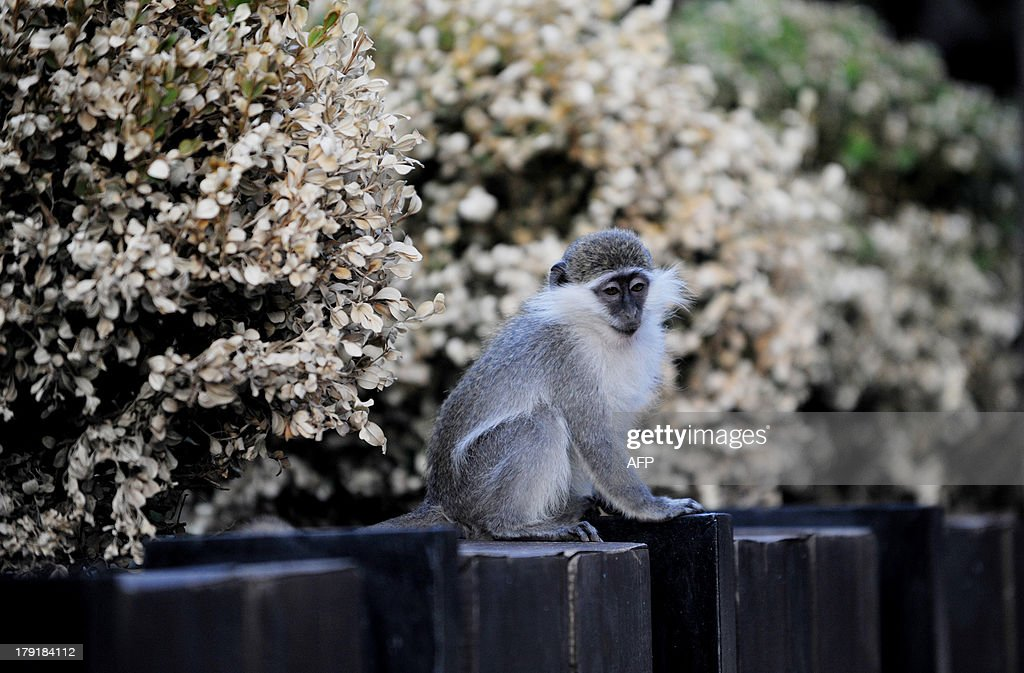 A baby Vervet monkey (African Green monkey) sits on the side of a hedge at a lounge bar in Pristina, on August 31, 2013.