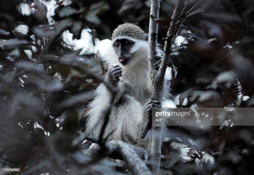 A baby Vervet monkey (African Green monkey) sitting on a tree branch, in Pristina, on August 31, 2013. AFP PHOTO / ARMEND NIMANI