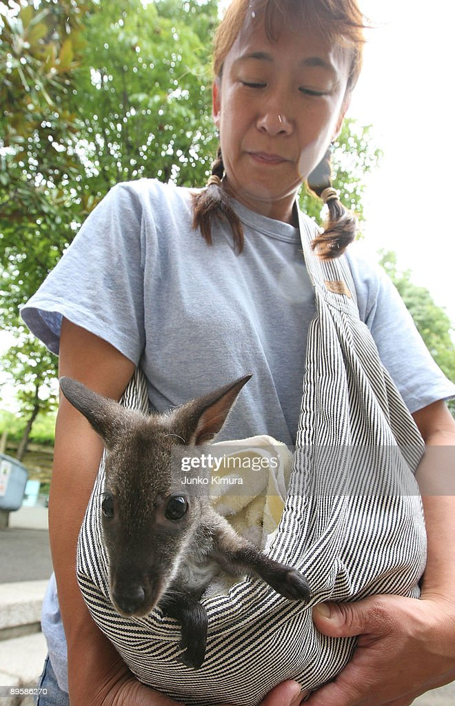 A baby wallaby is held by a zoo attendant at Edogawa Natural Zoo on August 4, 2009 in Tokyo, Japan. The staff of the zoo have raised the young wallaby after her mother neglected her.