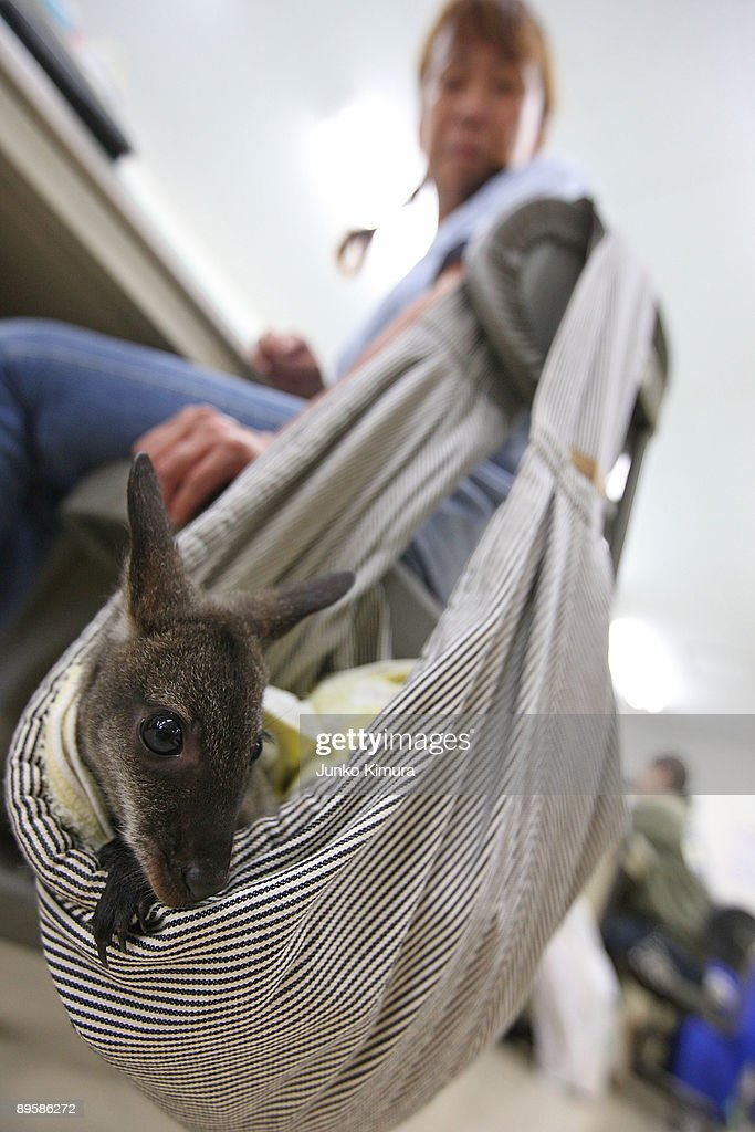 A baby wallaby rests hanging from a zoo attendant's chair at Edogawa Natural Zoo on August 4, 2009 in Tokyo, Japan. The staff of the zoo have raised the young wallaby after her mother neglected her.