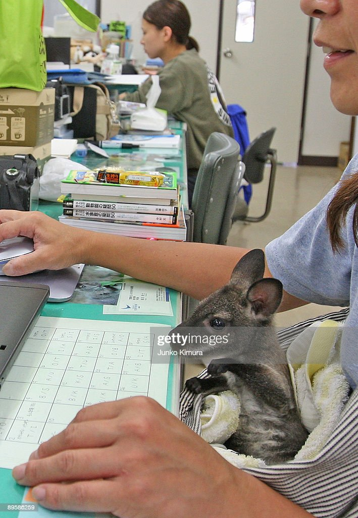 A baby wallaby sits in a zoo attendant's lap at Edogawa Natural Zoo on August 4, 2009 in Tokyo, Japan. The staff of the zoo have raised the young wallaby after her mother neglected her.