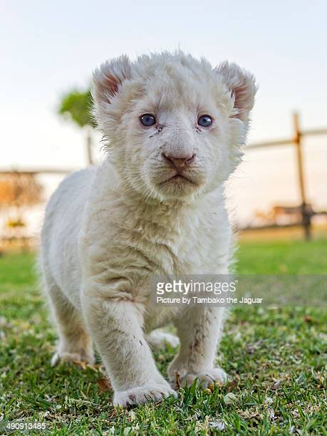 Baby white lion in the grass