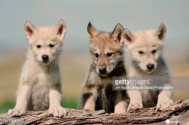 Baby Wolf pups