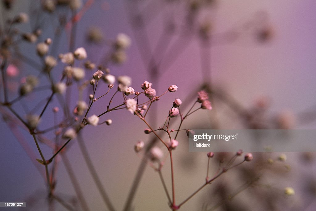 Baby's Breath (Gypsophila paniculata) against a pastel background : Stock Photo