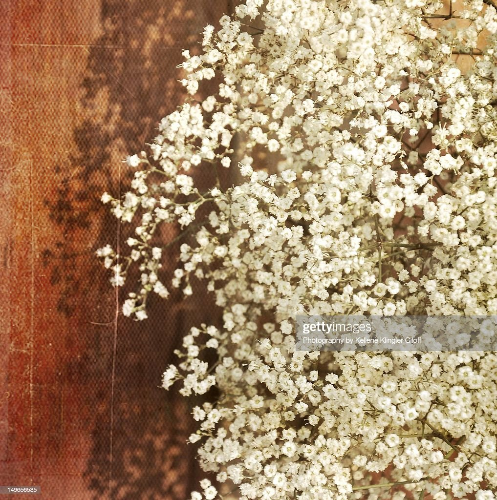 Baby's breath blossoms against red barn : Stock Photo