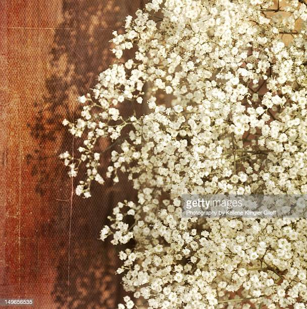 Baby's breath blossoms against red barn
