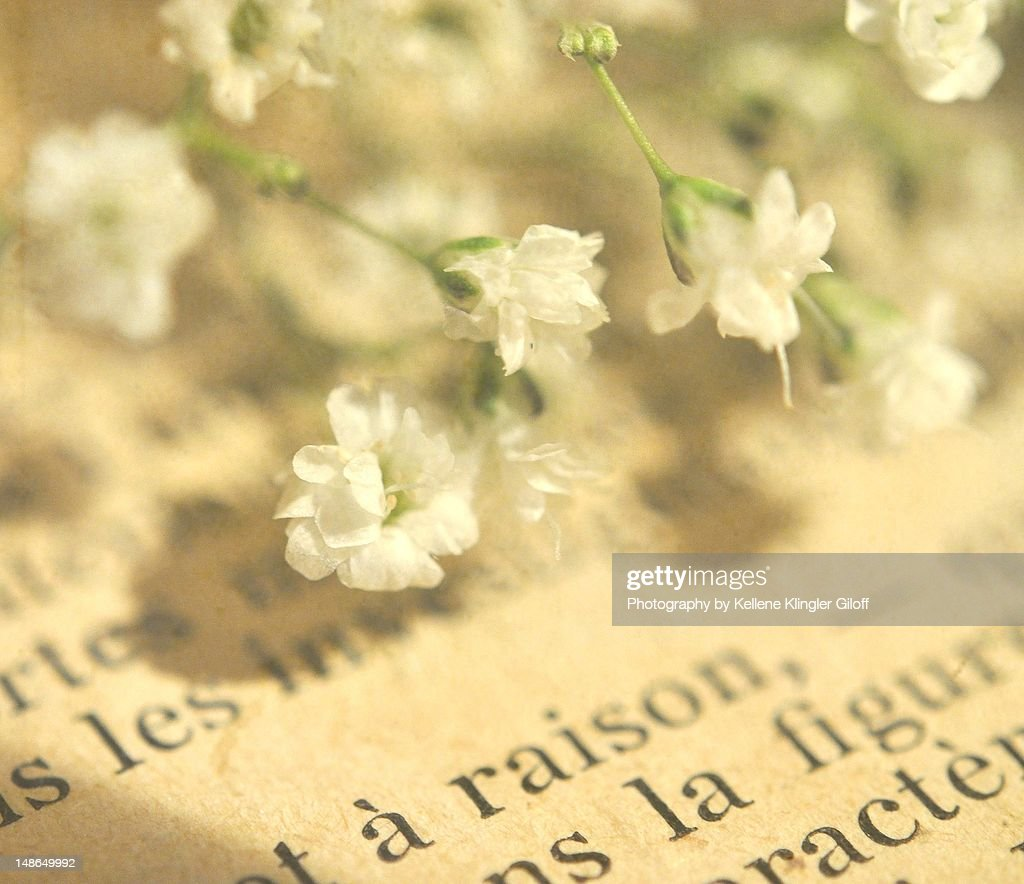 Baby's Breath blossoms on French text : Stock Photo