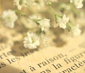 Baby's Breath blossoms on French text
