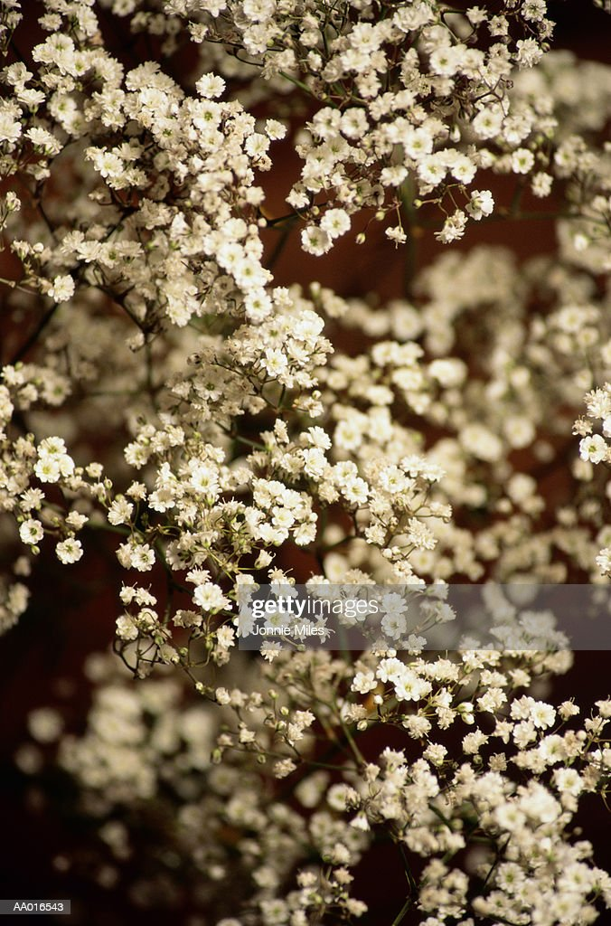 Babysbreath : Stock Photo