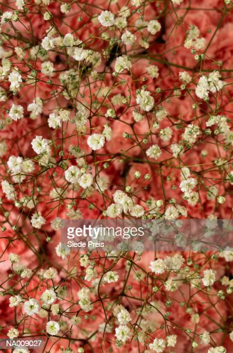 Baby's-breath : Stock Photo