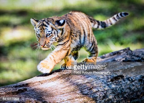 babytiger walking on fallen log stock photo getty images