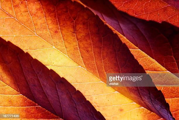 Back lit autumn leaves