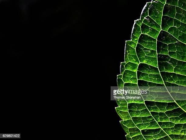 Back lit leaf
