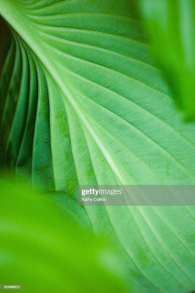 Back of Hosta leaf with network of viens,UK : Stock Photo