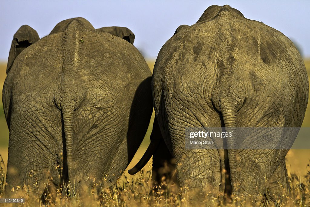 Back view of 2 African Elephant adults : Stock Photo