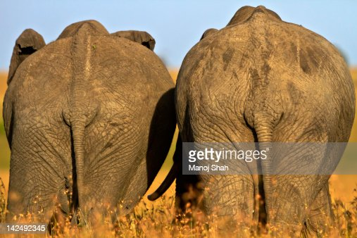 Back view of 2 African Elephant adults