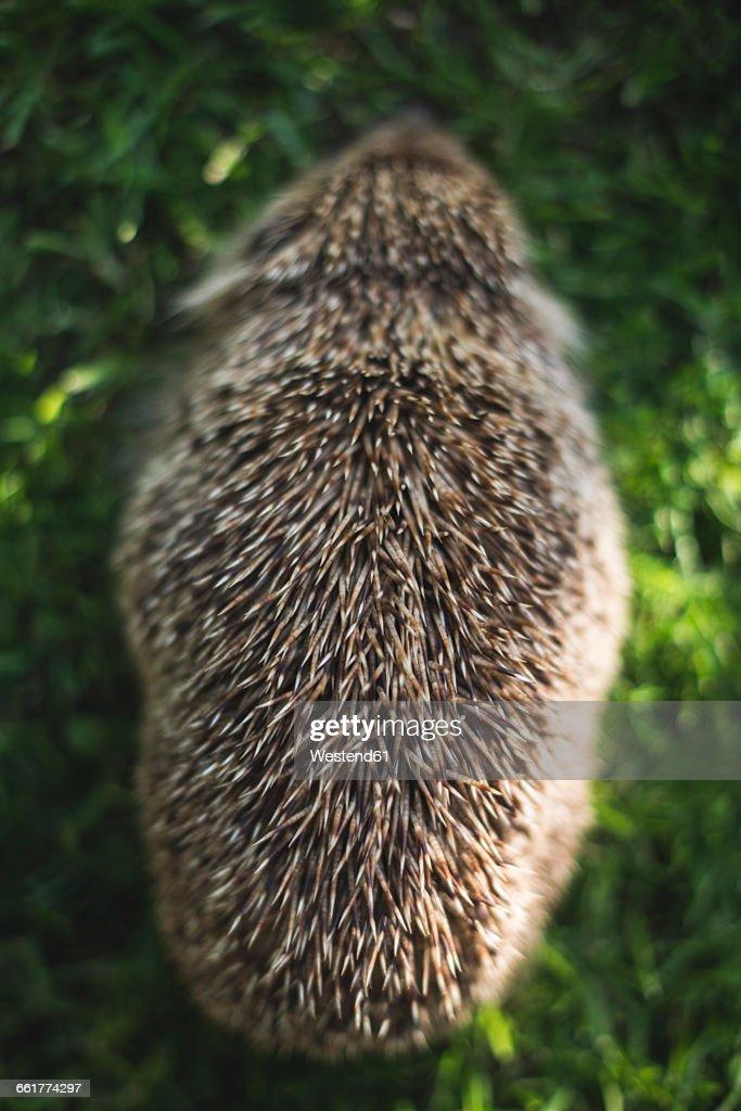 Back view of a hedgehog