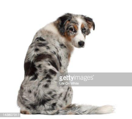Back view of Australian Shepherd puppy : Stock Photo