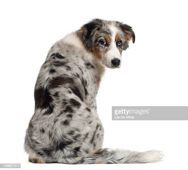 Back view of Australian Shepherd puppy