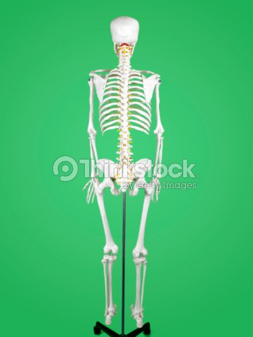 Back view of human skeleton stock photo thinkstock back view of human skeleton stock photo ccuart Image collections