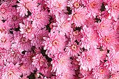 Background abstract chrysanthemum pink flowers spring pattern