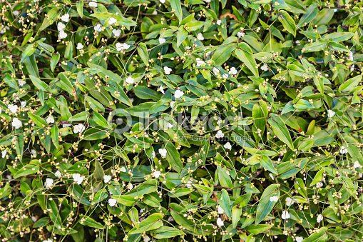 Background climbing plant with white flowers stock photo thinkstock background climbing plant with white flowers stock photo mightylinksfo
