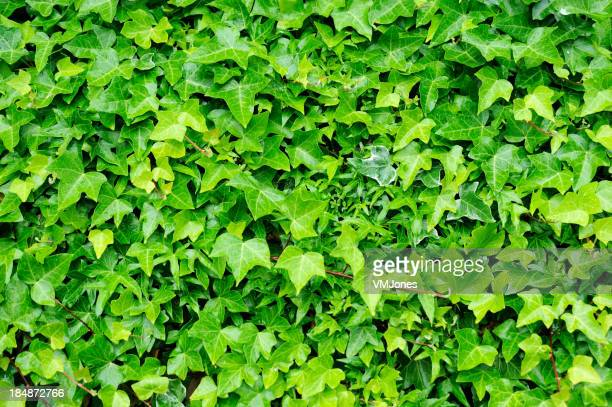 Background completely covered in green ivy