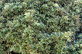 background hedge of green garden ivy leaves