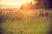 Meadow in the afternoon. A swarm of midges over tall grass in front of the sun. Blurred background.