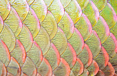 Background of arapaima fish scales